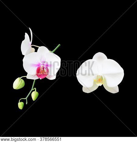 White Orchid Flower Isolated On Black Background