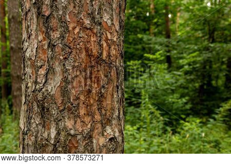 Part Of A Tree Trunk Against A Forest Background. The Relief Texture Of The Brown Bark Of The Tree I