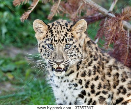 Portrait Of Cute Baby Amur Leopard Cub