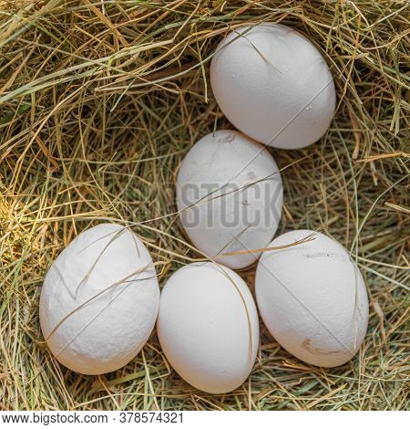 Large White Eggs Of A Domestic Hen Lie In The Hay. The Chicken Laid Eggs