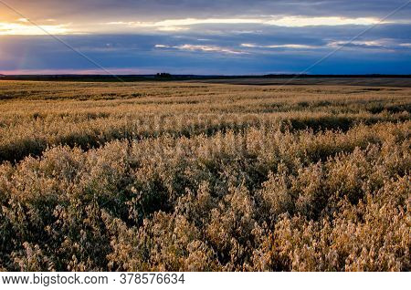 Growing Barley To Produce Flour For Baking. A Field Of Barley At Sunset
