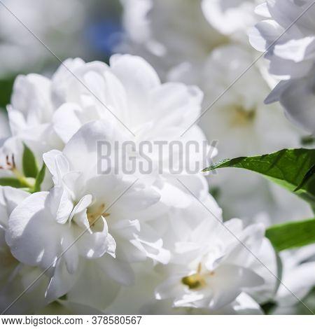 White Terry Jasmine Flowers In The Garden. Floral Background