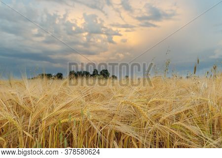 Ripe Wheat Is Set Against The Background Of A Thunderstorm In The Sunset Sky. Ripe Wheat Is Set Agai