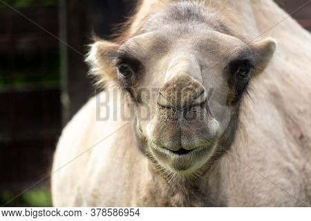 Portrait Of Wild Bactarian Camel From Front, Camelus Ferus