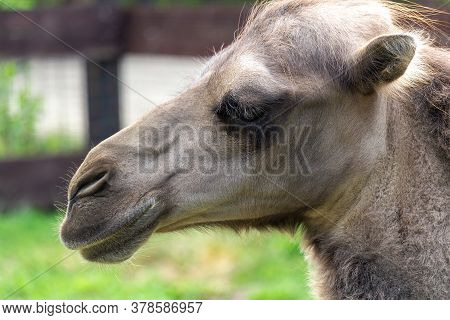 Portrait Of Wild Bactarian Camel From Side, Camelus Ferus