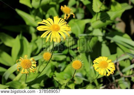 Doronicum Flowers In Different Phases Of Blooming