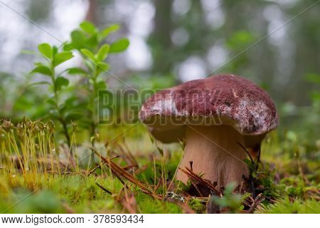 Boletus Edulis Or Cep In The Moss At The Forest.