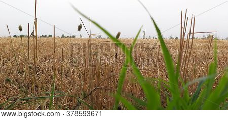 Wide Landscape Shot Of A Wheat Field After Reaping With Green Grass Defocused In The Foreground.
