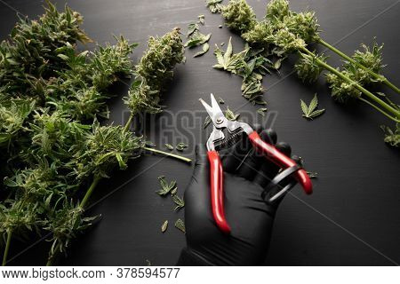Growers Trim Their Pot Buds Before Drying. Growers Trim Cannabis Buds. Trim Before Drying.