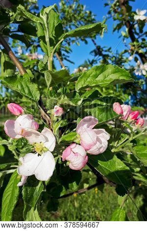 White Flowers And Pink Buds Of An Apple Tree Against A Blue Sky On A Clear Day Close-up, Vertical Ph