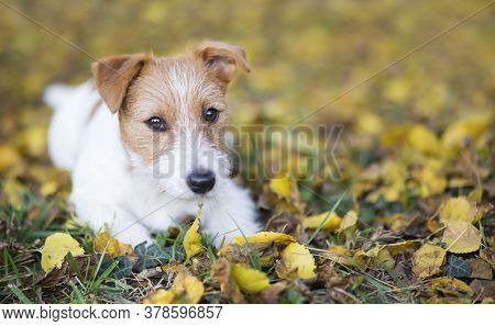 Cute Happy Jack Russell Terrier Pet Dog Puppy Looking In The Autumn Fall Leaves, Web Banner, Backgro