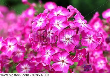 Spring Flowers. Garden Divaricata Phlox. Blooming Pink Phlox. Beautiful Flowers In Spring.