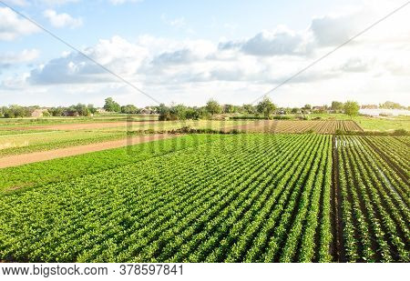 Aerial View Of Plantation Landscape Of Green Potato Bushes. Agroindustry And Agribusiness. European