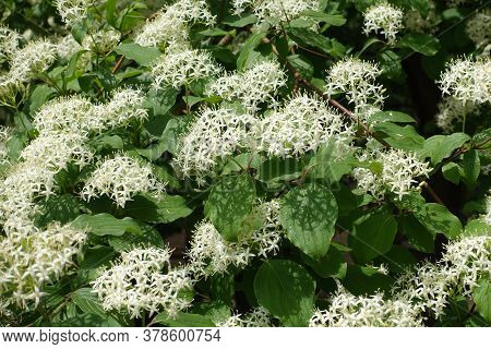White Flowers Of Common Dogwood In May