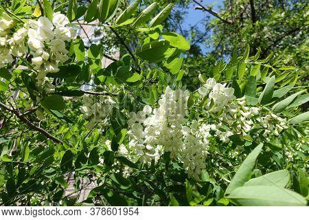 Florescence Of Robinia Pseudoacacia Tree In Mid May