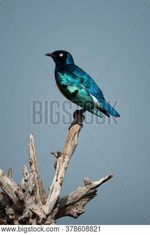 Superb Starling Perches On Log In Sunshine