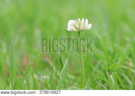 White Flowers Of Clover. Trifolium On The Field. Blooming Clover. Wild Plants.