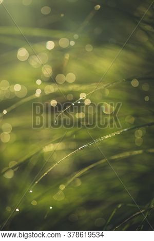Morning Dew On Green Spring Grass With Shallow Dof, Blurred Background