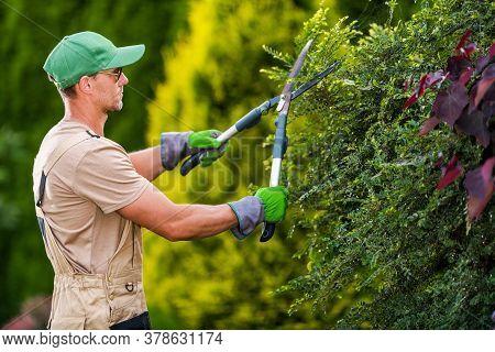Seasonal Garden Plants Trimming By Professional Caucasian Gardener. Large Pro Scissors In Action. La