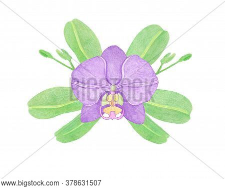 Purple Orchid Phalaenopsis Watercolor Illustration. Beautifull Exotic Flower In A Full Bloom With Gr