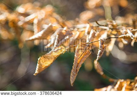 Yellow Dead Leaves On Trees. Autumn Withering Nature. Leaves Illuminated By The Sun. Blurred Backgro
