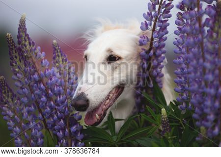 Close-up Portrait Of Beautiful Dog Breed Russian Borzoi Standing In The Grass And Violet Lupines Fie