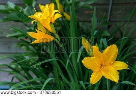 Yellow Daylily Flowers Blooming Among Green Leaves In The Garden.