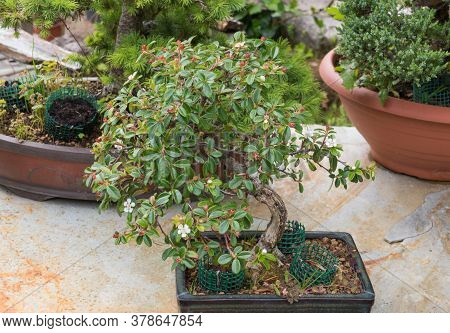 Cotoneaster Evergreen Flowering Bonsai Over Marble Table