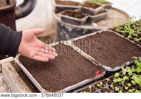 Man, Only His Hands On The Photo, No Face, Is Sowing Seeds In Plastic Box, Flower Seedlings Around