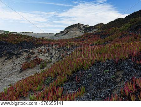 Ice Plant, Carpobrotus Edulis, On Sand Dunes At Point Reyes National Seashore, Usa, With Other Coas