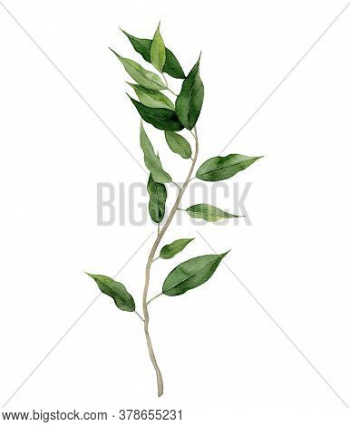 Ficus Benjamin. Fig Tree Frond. Curly Green Branch. Watercolour Illustration On White Background.