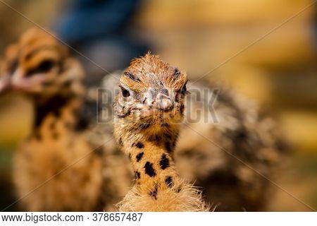 Baby Ostrich Portrait .solo Baby Ostrich Stand On Forest .world Larges Bird Ostrich .baby Ostrich Po
