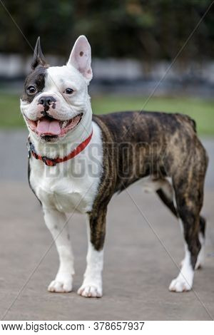 Frenchton (french Bulldog And Boston Terrier Cross Breed)  Puppy Male