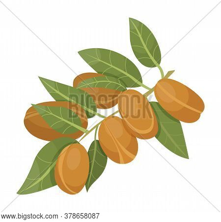 Branch With Green Leaves And Brown Nuts. Argania Isolated On White Background. Small Argan Core Cove