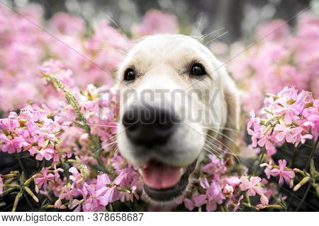 Golden Retriever Dog Posing In A Field Of Pink Phlox Flowers