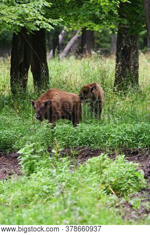 Calf Of European Bison In The Wood