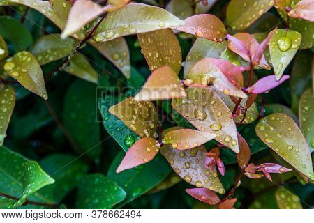 Water Drops On Red Leaf Photinia Of Photinia Glabra Robin. Flower's Leaves Beautifully Blooming In G