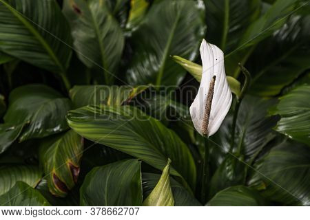 White Anthurium Flowers Or Flamingo Flowers In Garden. . Selective Focus.