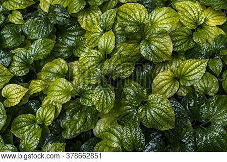 Fresh New Green Heart Shaped Leaves Of Wild Betel Leaf Bush Or Piper Sarmentosum Plant In Vegetable