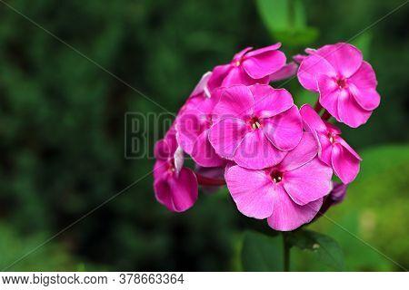 Spring Flowers. Garden Divaricata Phlox. Blooming Pink Phlox. Beautiful Flowers In Spring. Copy Spac