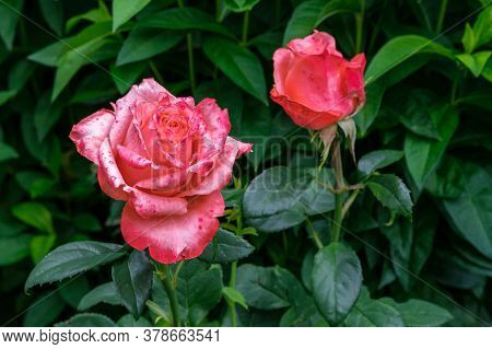 Two Buds Of Scarlet Roses Against A Background Of Green Leaves: One Is In Full Bloom, And The Other