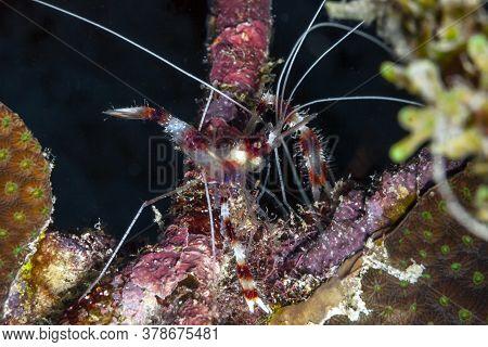 Stenopus Hispidus Is A Shrimp-like Decapod Crustacean Belonging To The Infraorder Stenopodidea. Comm