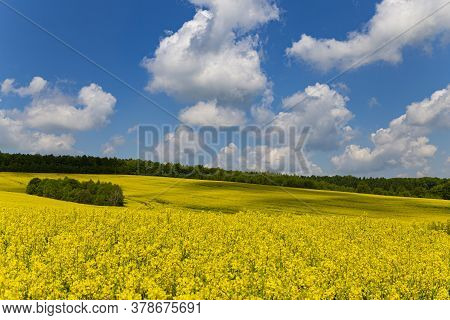 Panorama Of Flowering Rapeseed Fields On The Hills Among Green Trees. Rape. Agricultural Field Of Ye