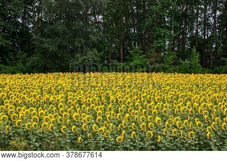 Beautiful Landscape With Yellow Sunflowers. Sunflower Field, Agriculture, Crop Concept.sunflower Wal