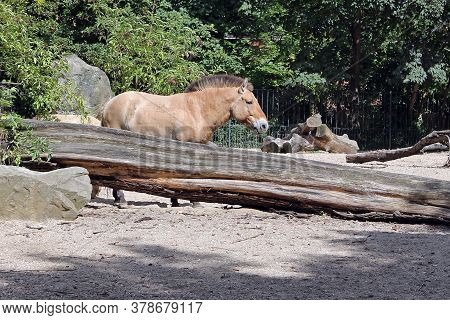 Przewalski's Horse, Equus Przewalskii Or Equus Ferus Przewalskii Also Called The Mongolian Wild Hors