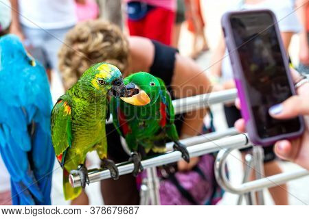 Colorful Parrots Are Kissing. Two Beautiful Parrot Birds. Hand With A Phone Takes Pictures.