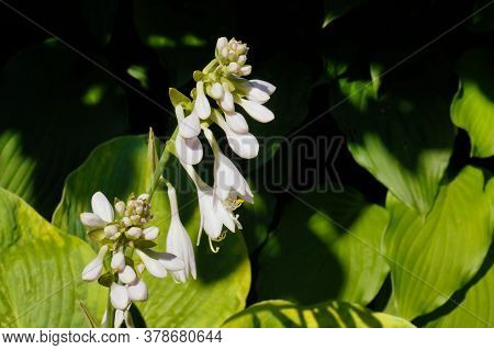 Summer Garden. Hosta During Flowering, Unusual White Color Of Flowers.