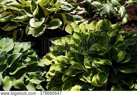 Four Different Plant Varieties In One Photo. Hosta Is A Genus Of Plants Commonly Known As Hostas, Pl