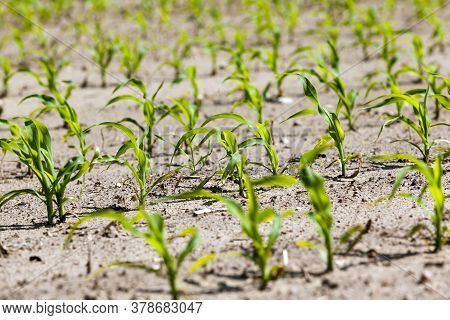 An Agricultural Field Where Corn Is Grown For Grain Production, Farming With Fertile Soil And Obtain