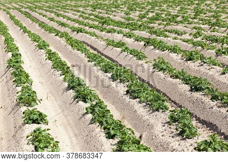 An Agricultural Field Where Potatoes Are Grown, A Furrow With Green Sprouts On Fertile Soils
